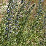 Blaoe Adderkop, Blauer Natternkopf, Viper's Bugloss, Echium vulgare © Dr. Klaus-Werner Kahl