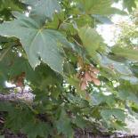Ahäön, Ahorn, Maple, Hippocastanoideae © Dr. Klaus-Werner Kahl