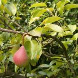 Biärn, Birne, Pear, Pyrus © Dr. Klaus-Werner Kahl