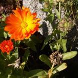 Daudenblome, Ringelblume, Marigold, Calendula officinalis © Dr. Klaus-Werner Kahl