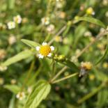 Düwelskruud, Franzosenkraut oder Raues Knopfkraut, Gallant Soldier, Galinsoga parviflora © Dr. Klaus-Werner Kahl